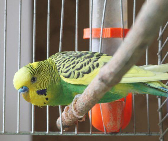 Шукаємо клітку для бойового… папуги!